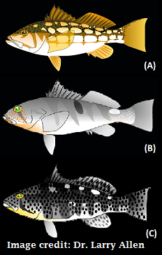Image of identifying features of the three bass species: kelp (calico) bass, barred (sand) bass, and soptted (bay) bass